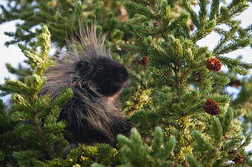 a porcupine up in a tree