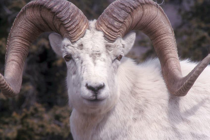 close up of a Dall sheep