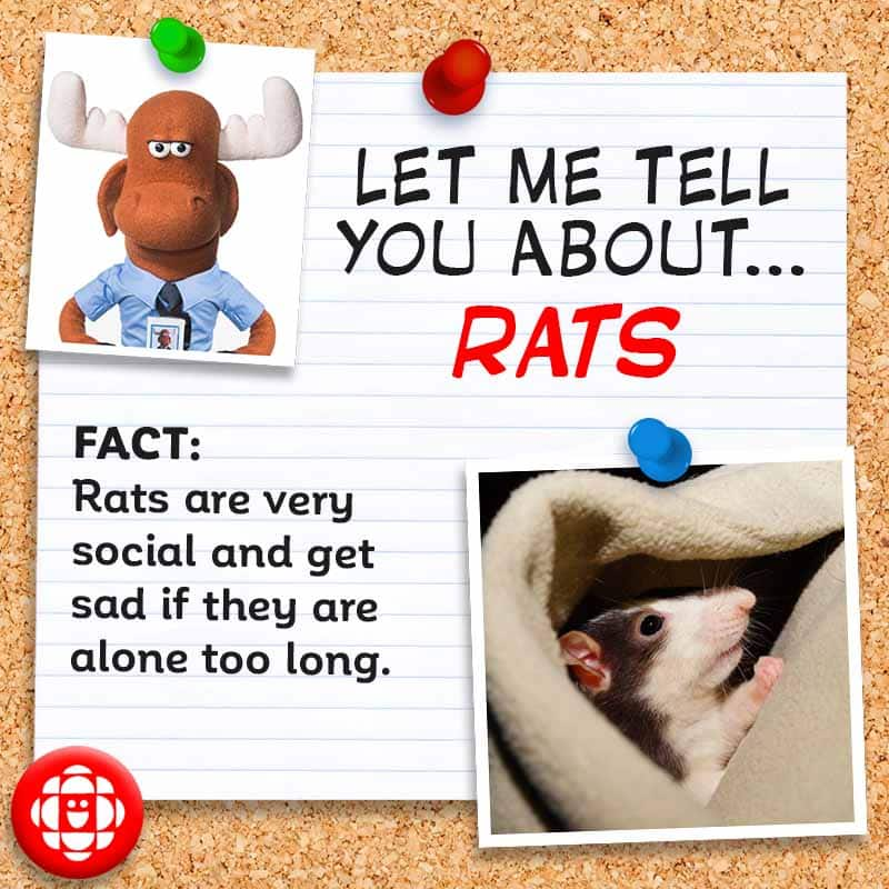 FACT: Rats are very social and get sad if they are alone too long