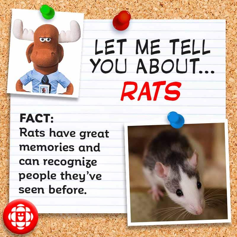 FACT: Rats have great memories and can recognize people they've seen before