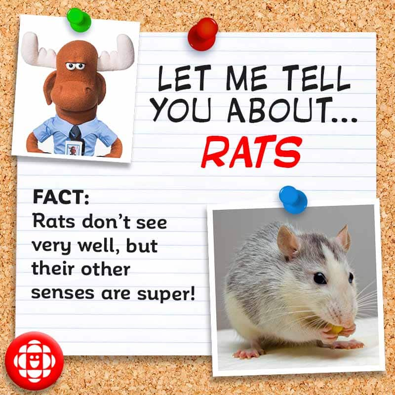 FACT: Rats don't see very well, but their other senses are super