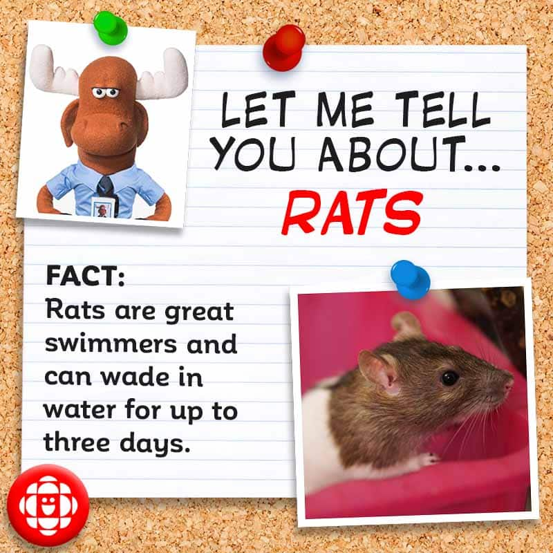 FACT: Rats are great swimmers and can wade in water for up to three days
