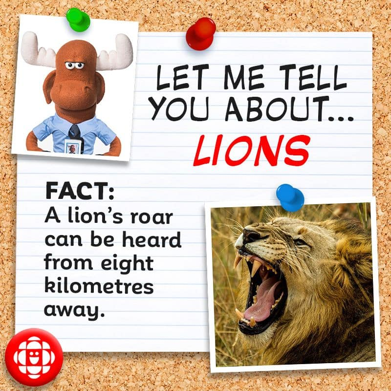 A lion's roar can be heard from 8 kilometres away.
