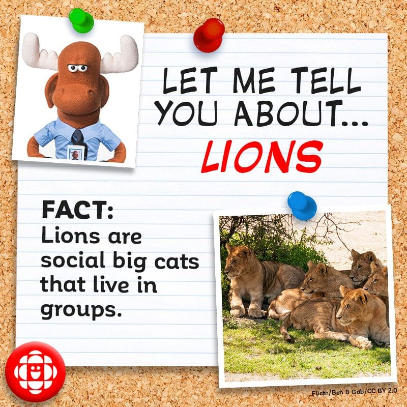 Lions are social big cats and they live in groups.