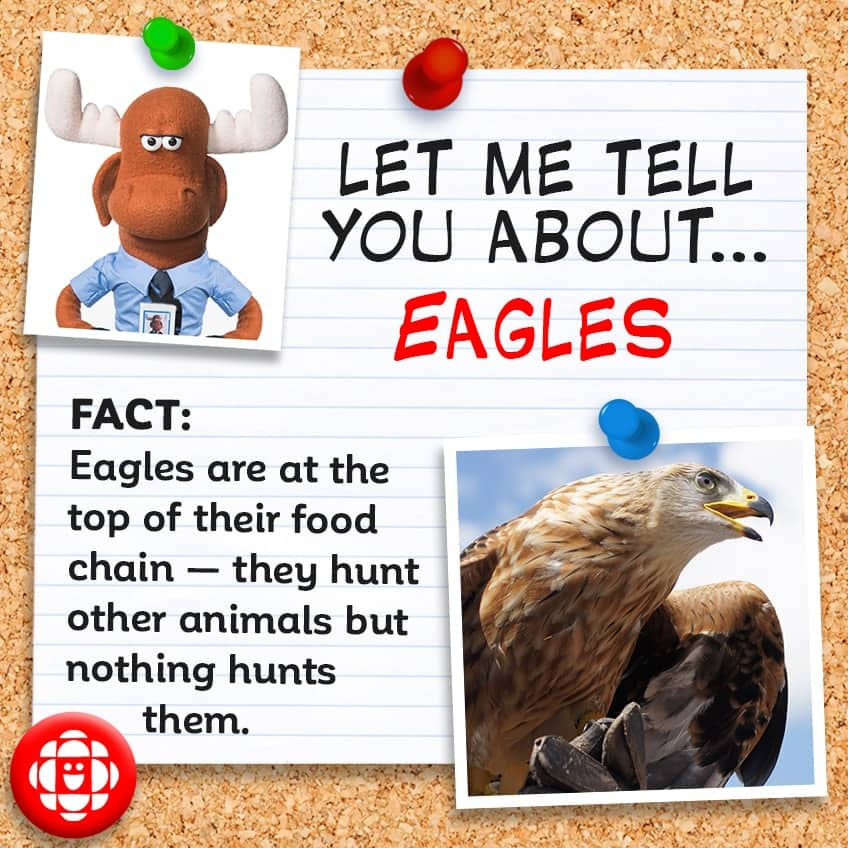Eagles are the top of their food chain and no other animal hunts them