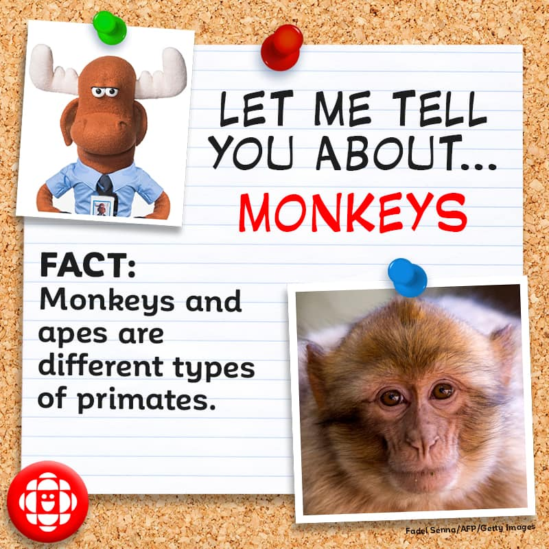 Monkeys and apes are different types of primates.