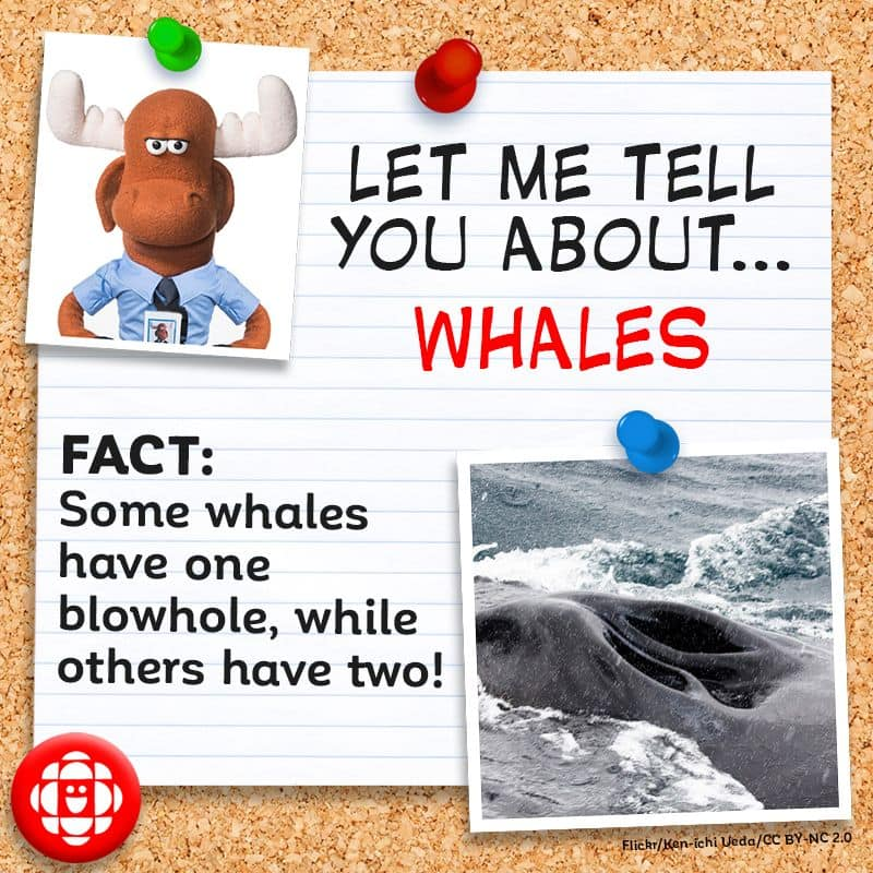 Some whales have one blowhole, while others have two.
