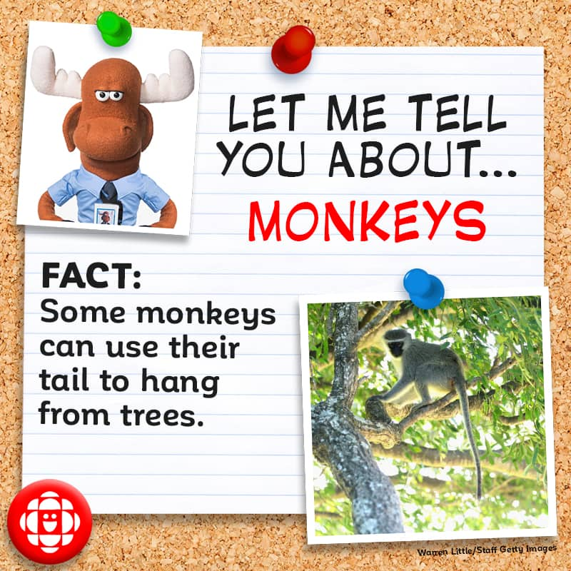Some monkeys can use their tail to hang from trees.