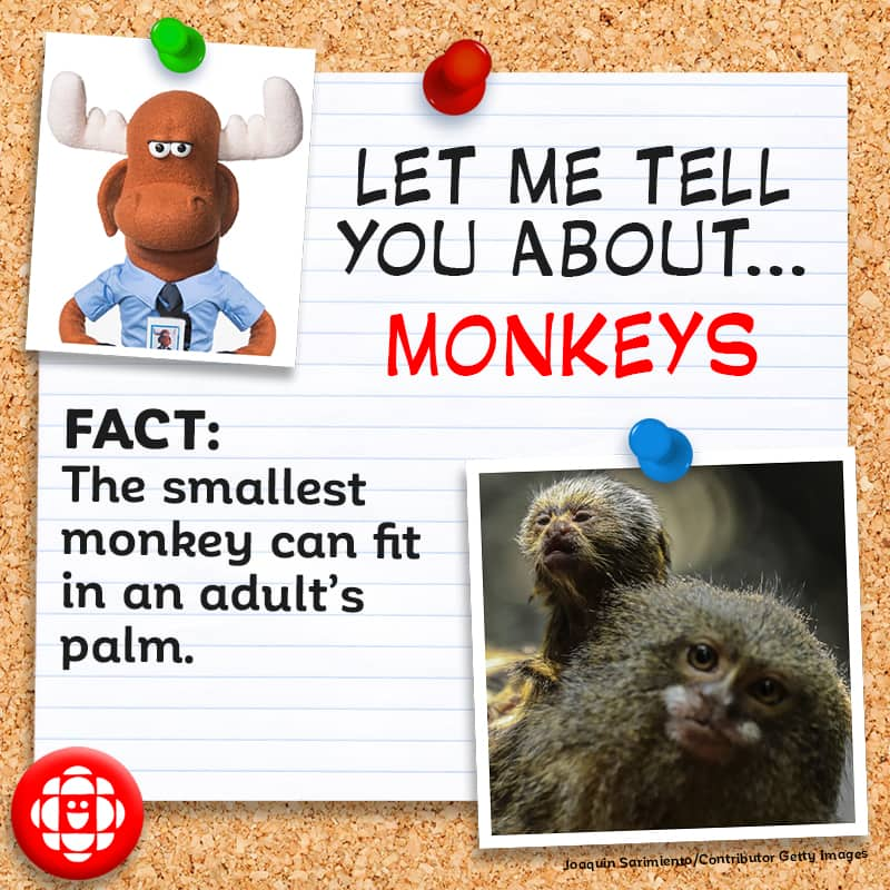 The smallest monkey can fit in an adult palm.