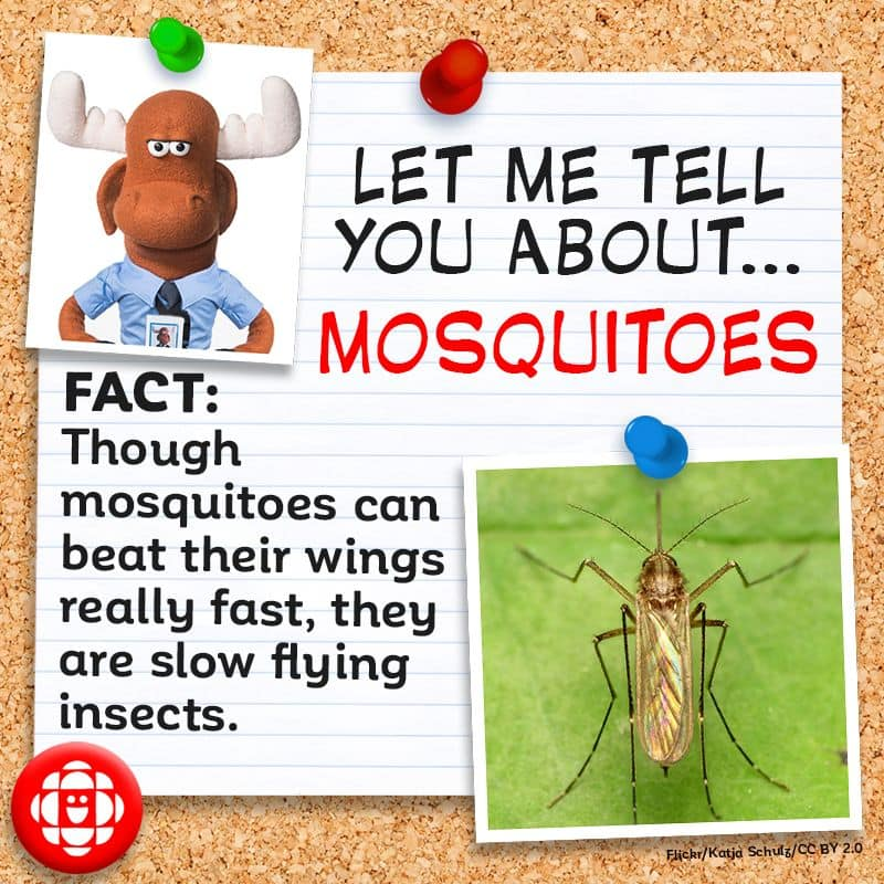 Though mosquitoes can beat their wings really fast, they are slow flying insects.