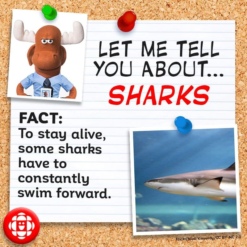 Some sharks have to constantly have to swim forward to stay alive.