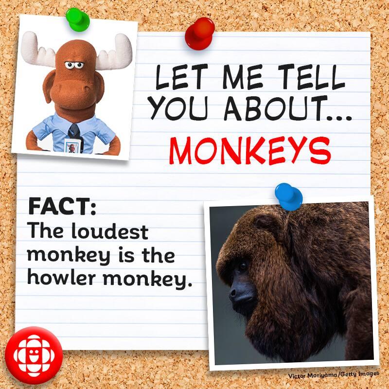 The loudest monkey is the howler monkey.