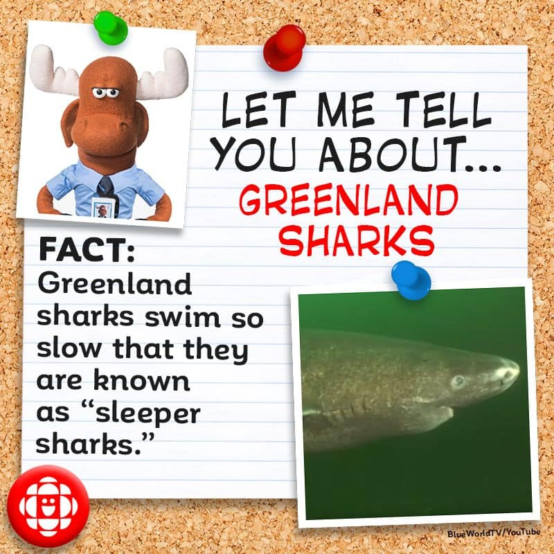Greenland sharks swim so slow that they are known as
