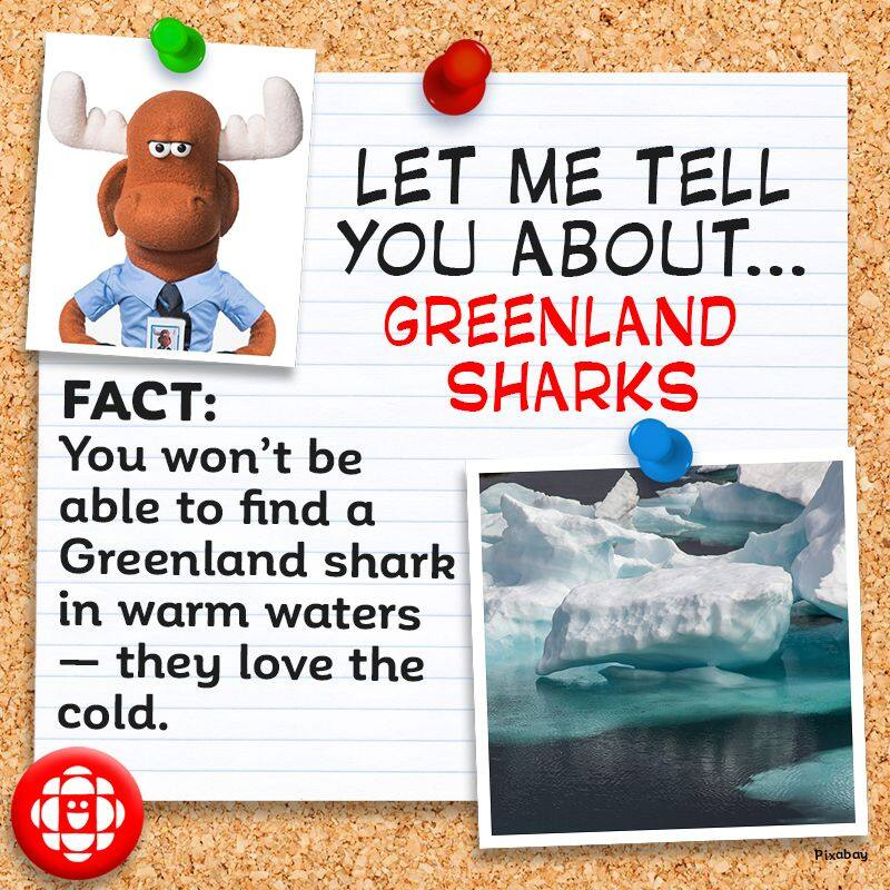 You won't be able to find a Greenland shark in warm waters — they love the cold.