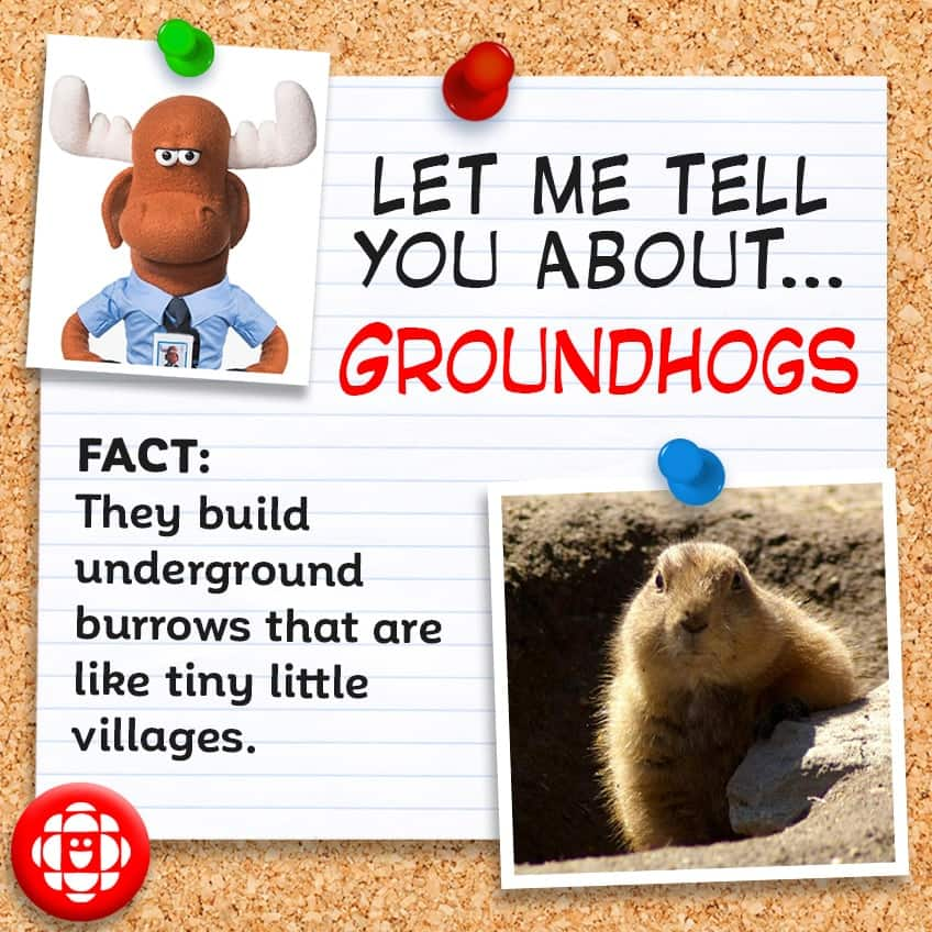 Fact: Their underground burrows are like tiny villages.