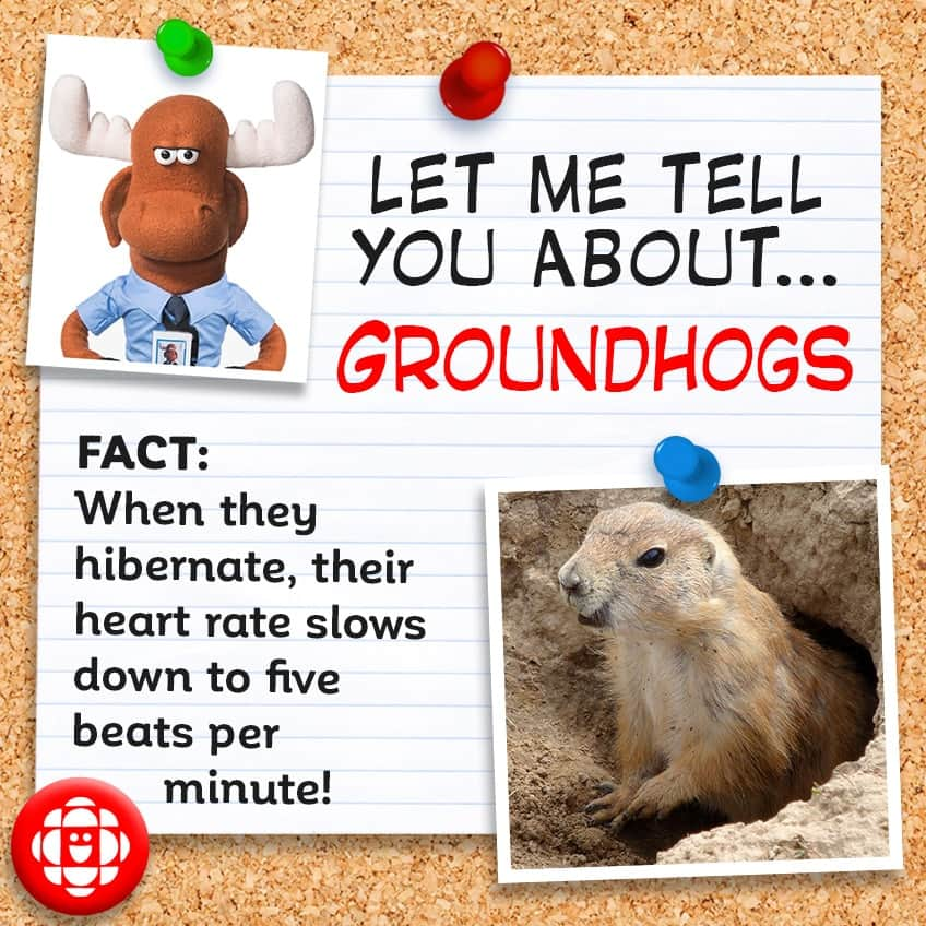 Fact: When they hibernate, their heart rate slows down to 5 beats per minute.