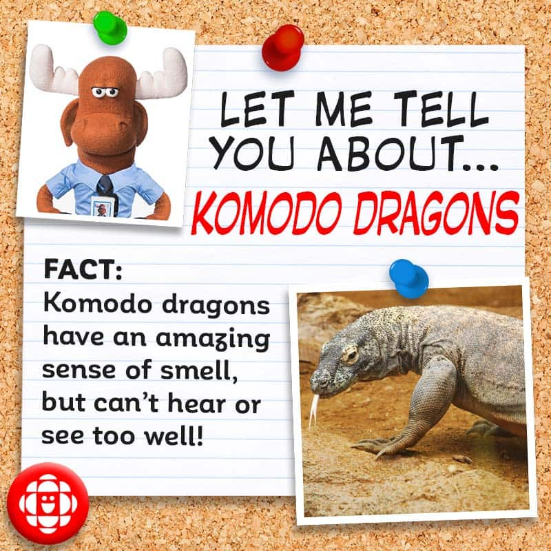 Komodo dragons have an amazing sense of smell, but can't hear or see too well!