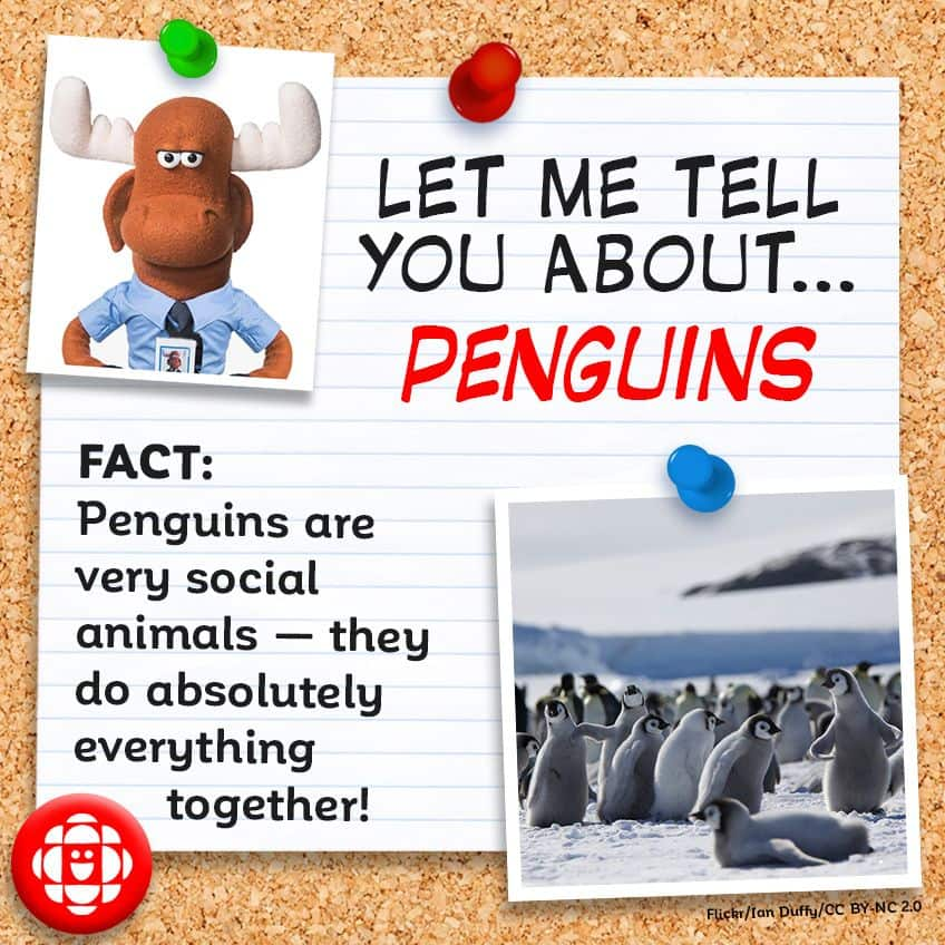 FACT: Penguins are very social animals — they do absolutely everything together!