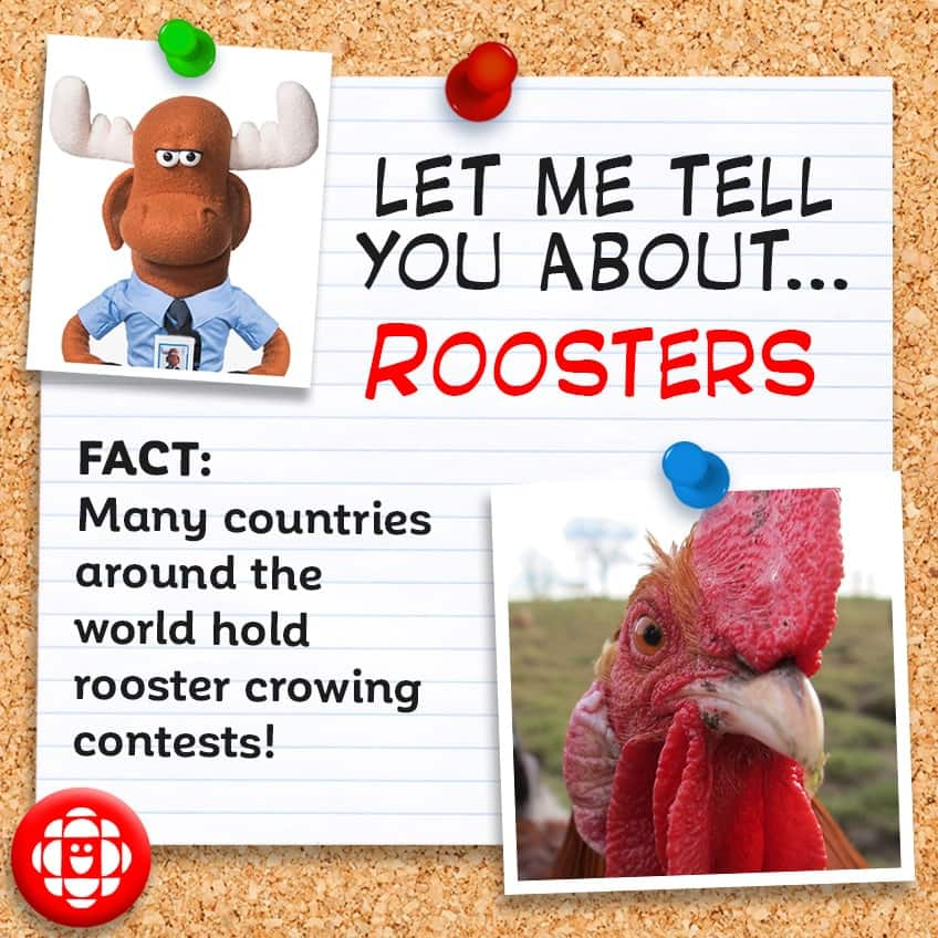 Many countries hold rooster crowing contests
