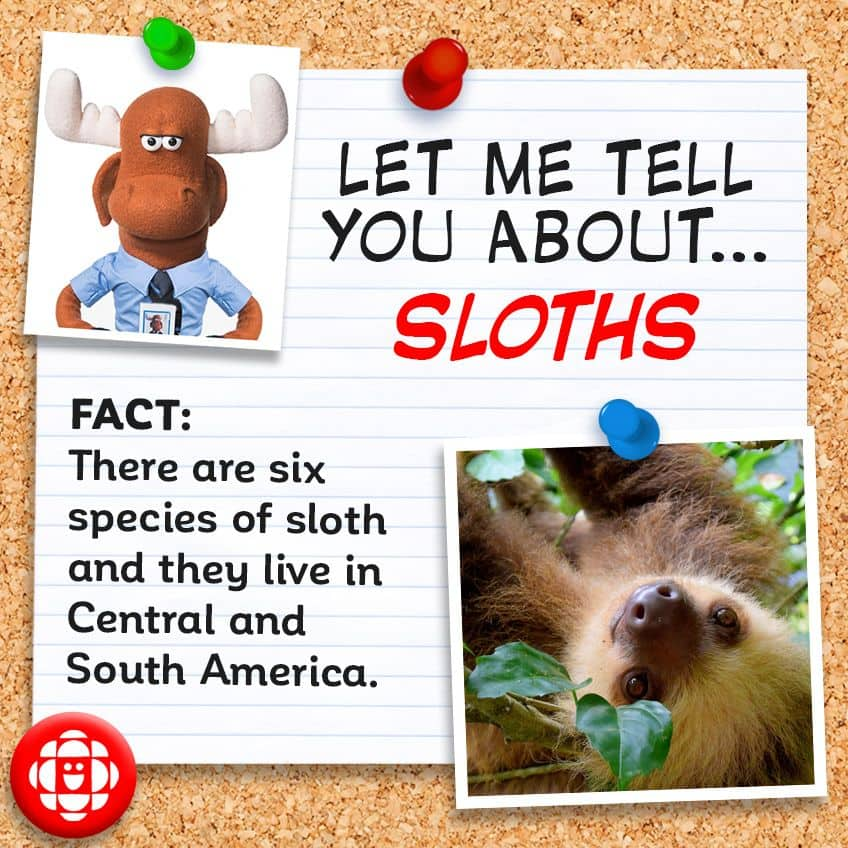 Fact - There are six species of sloths and they live in Central and South America