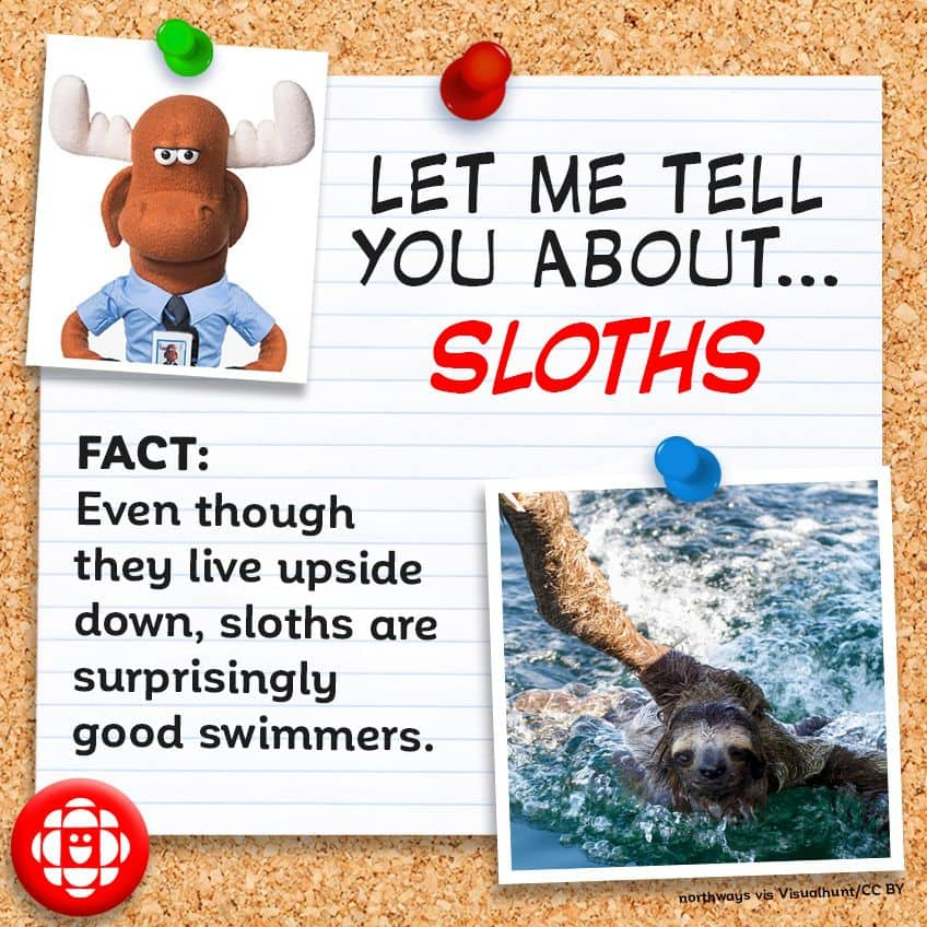 Fact - Even though they live upside down sloths are surprisingly good swimmers