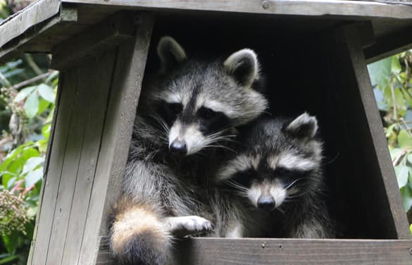 8 Facts About Raccoons | Explore | Awesome Activities & Fun