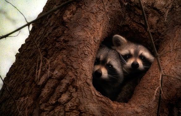 Little raccoons in a tree