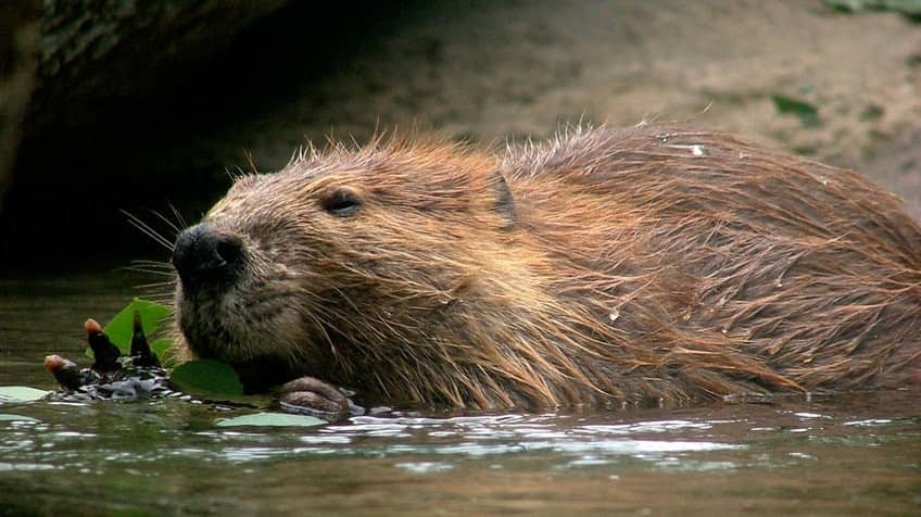 How much do you know about beavers? | Explore | Awesome