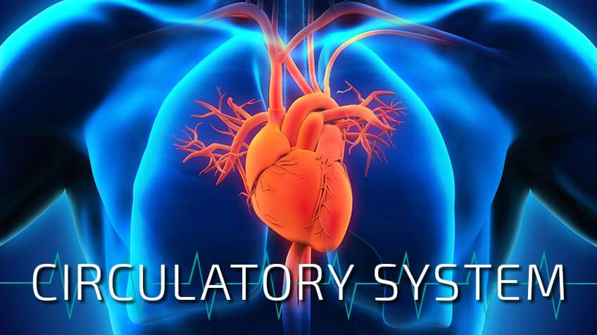 How Much Do You Know About Your Circulatory System
