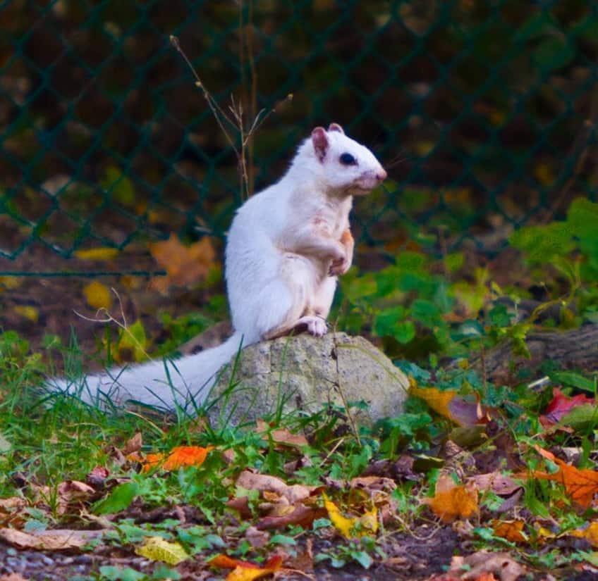 It's a white squirrel.