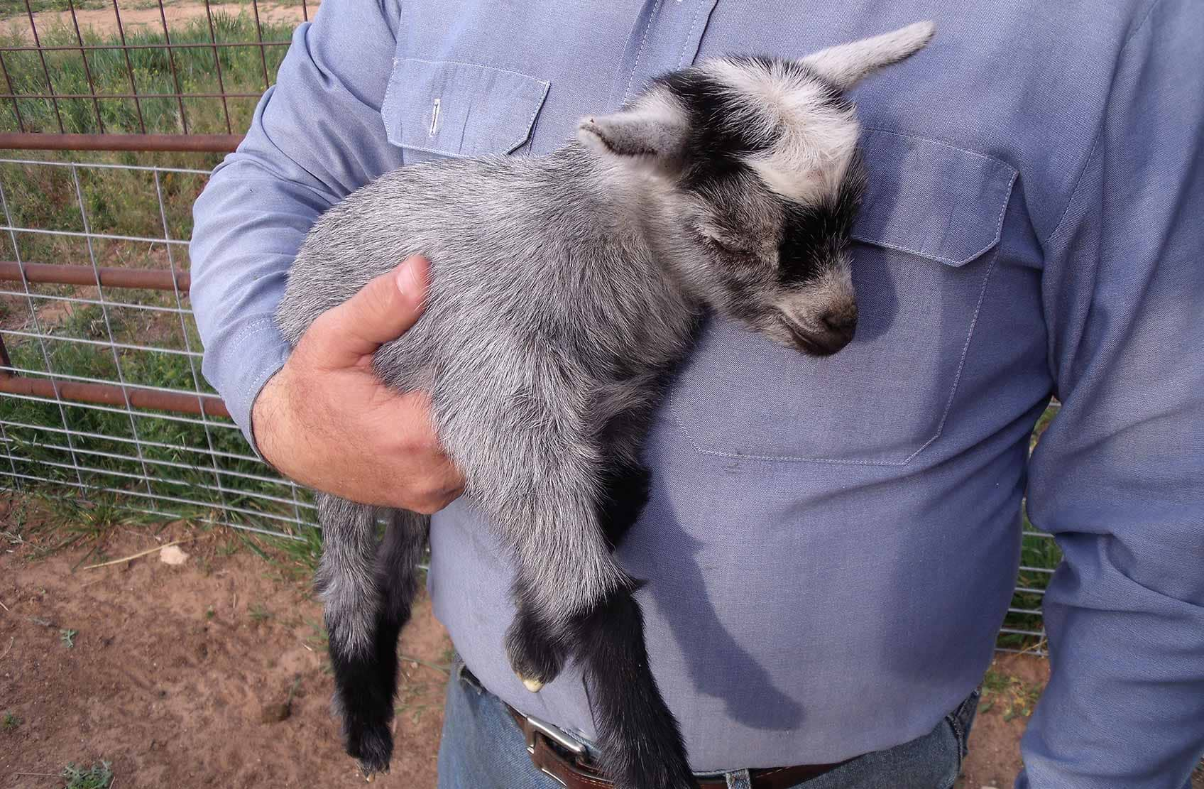 a person holding a pygmy goat up to their chest