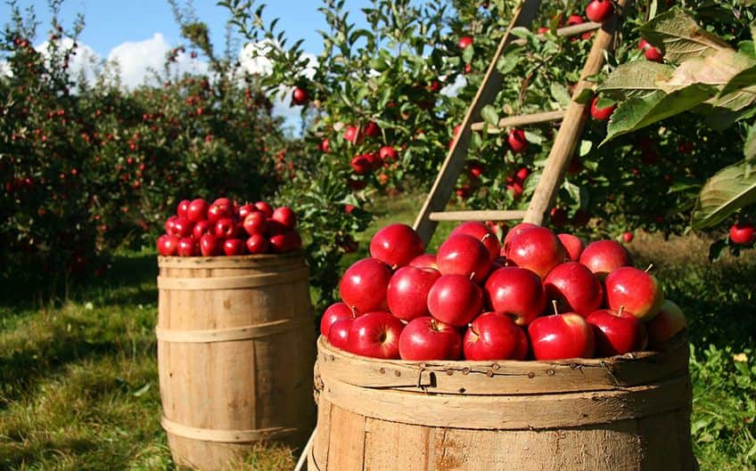 appl eharvest in an orchard