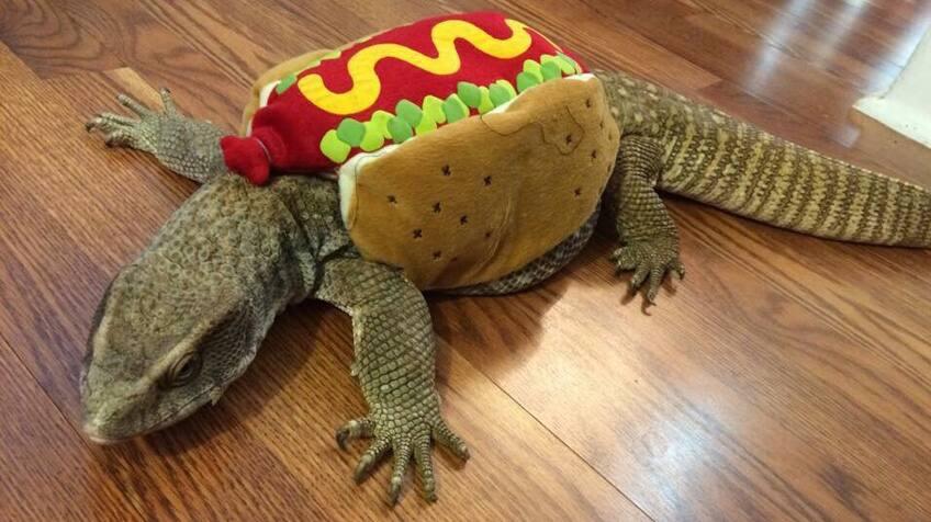 A pet lizard dressed as a hot dog
