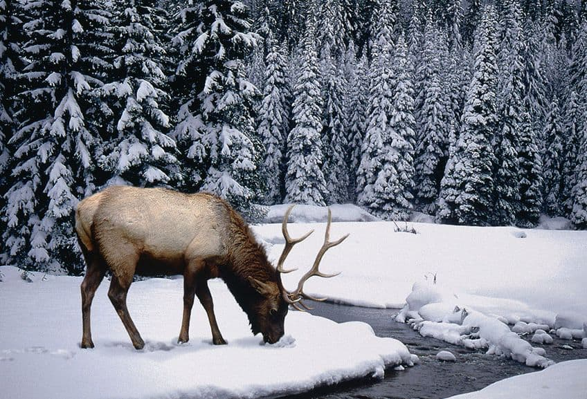 a caribou in a snowy landscape