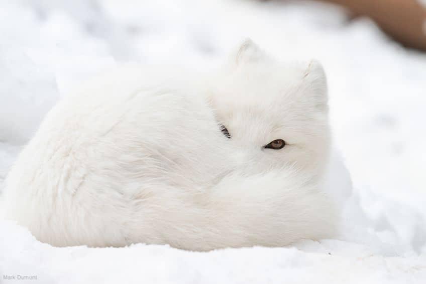 a cute arctic fox in the snow
