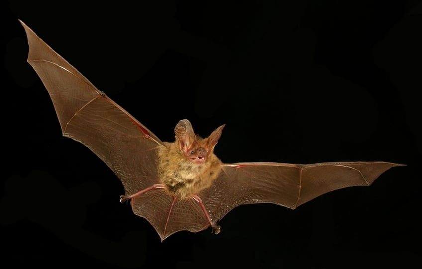 flying bat with wings extended