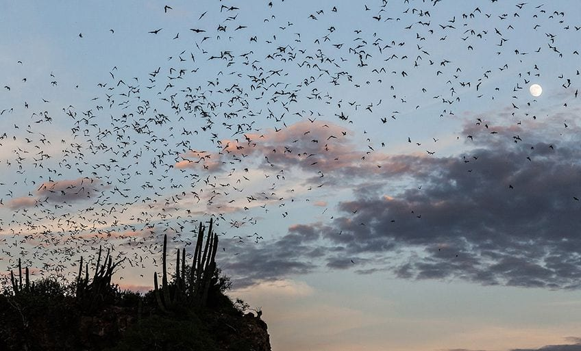 huge group of bats flying out of a cave