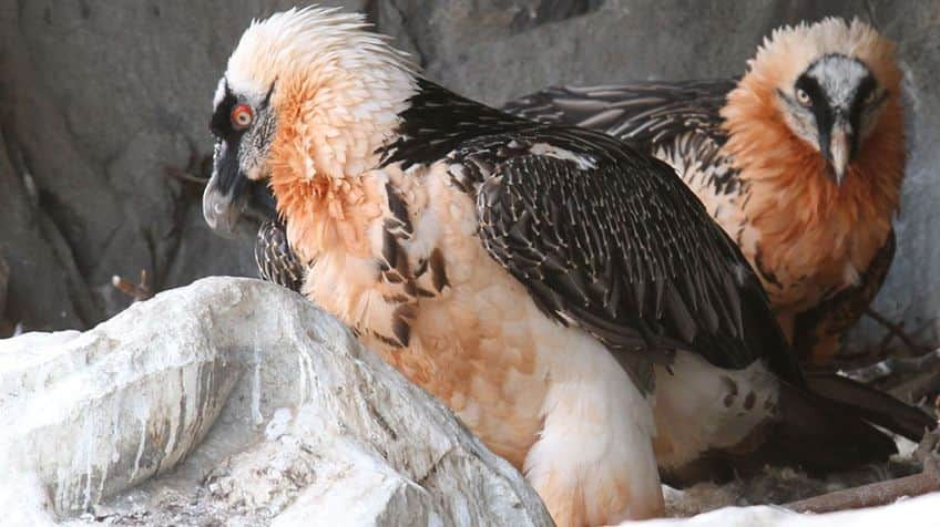 Two bearded vultures hang out.