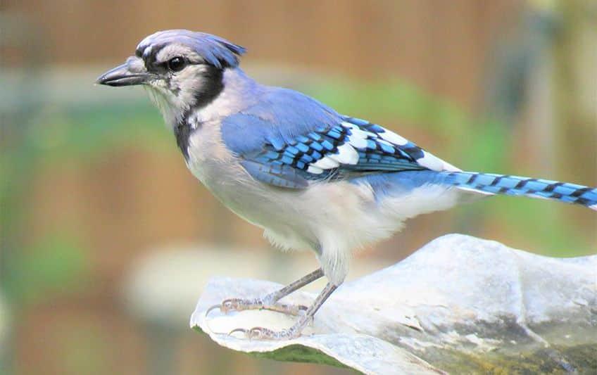 blue jay sitting on a bird feeder