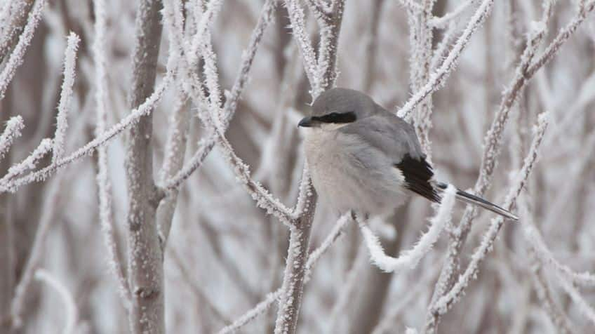northern shrike bird on snowy branches