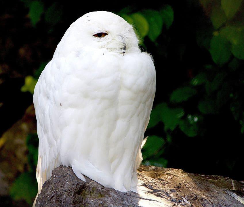 very white snowy owl
