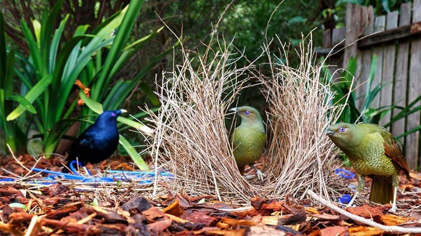 A satin bowerbird hangs out while two females check out its structure.