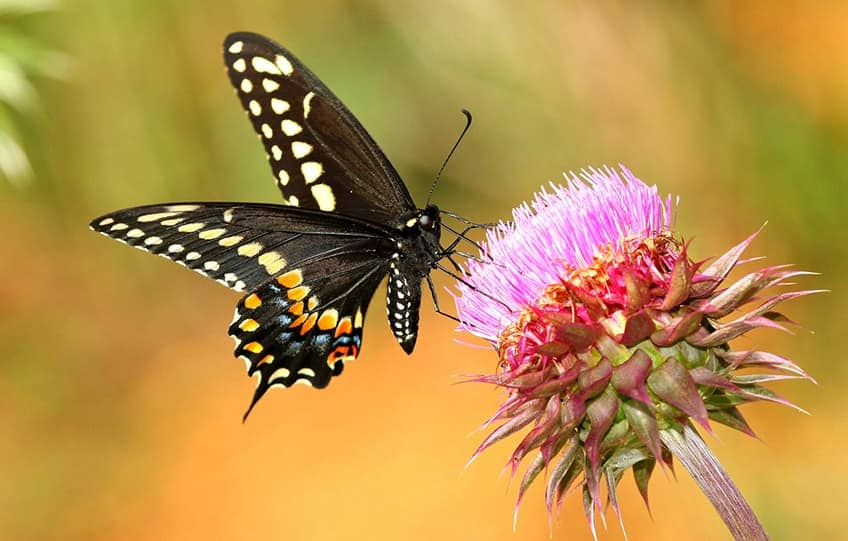 black swallowtail butterfly and thistle