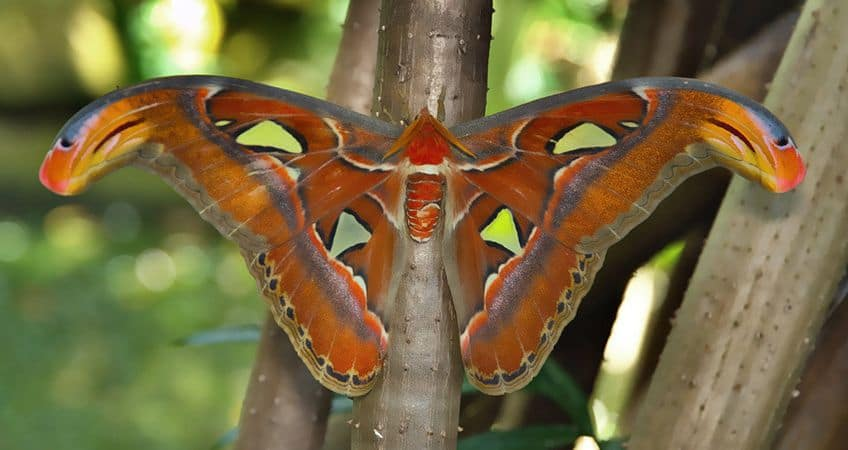 an atlas moth on a tree with its wings open