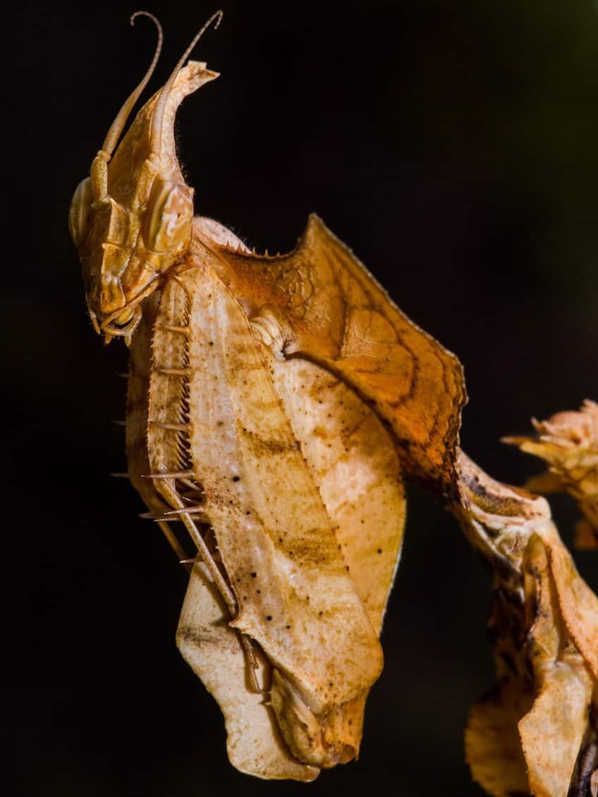 devil's flower mantis bug close up