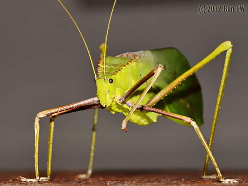 Giant long-legged katydid
