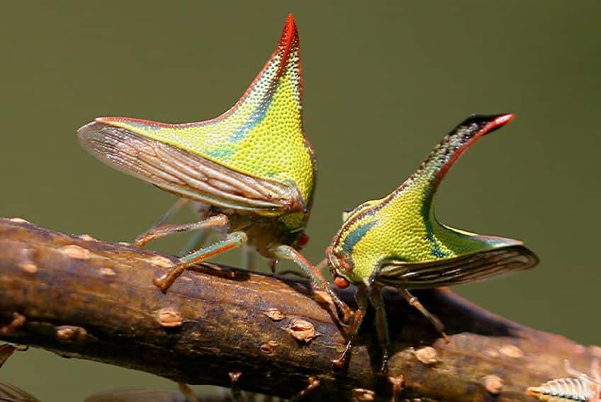 two thorn bugs on a branch