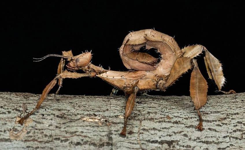 australian walking stick bug on a branch