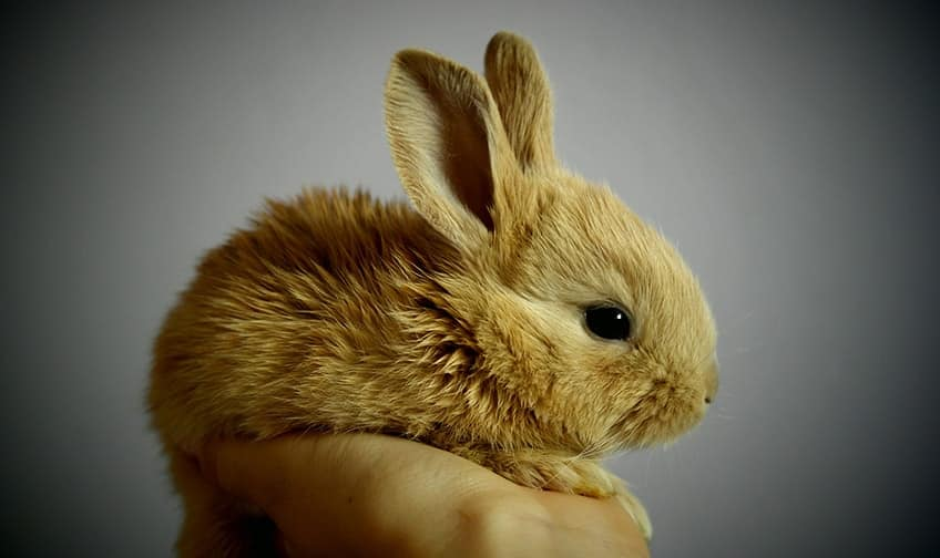 cute dwarf bunny sitting in a person's hand