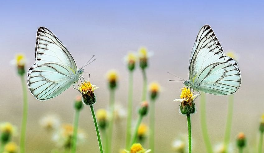two pale blue butterflies sitting on flowers